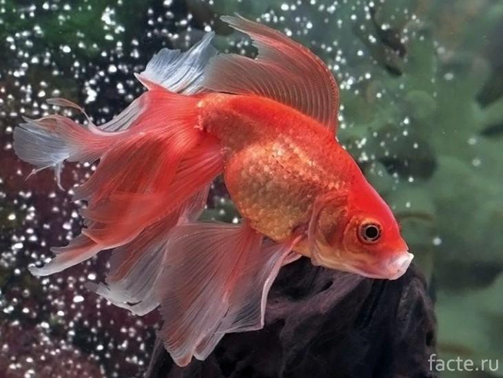 Рыба Вуалехвост