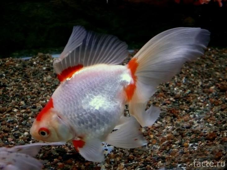 Вуалехвост в аквариуме