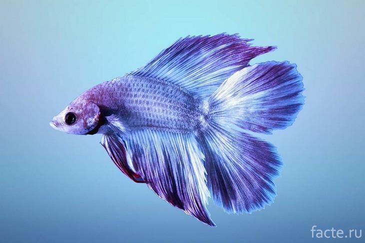 Рыба Петушок