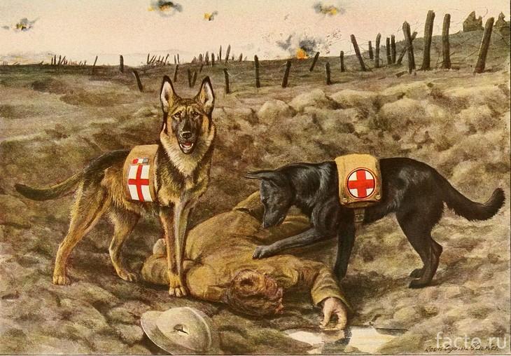 Бельгийская овчарка нашла раненого бойца