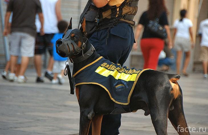 Доберман служит в полиции