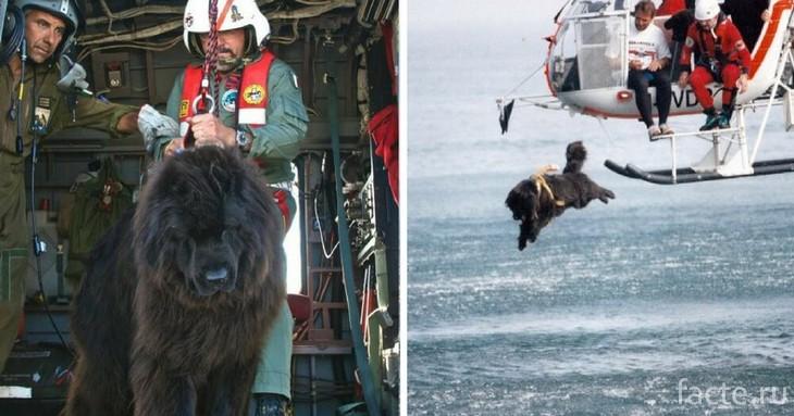 Ньюфаундленд прыгает в воду