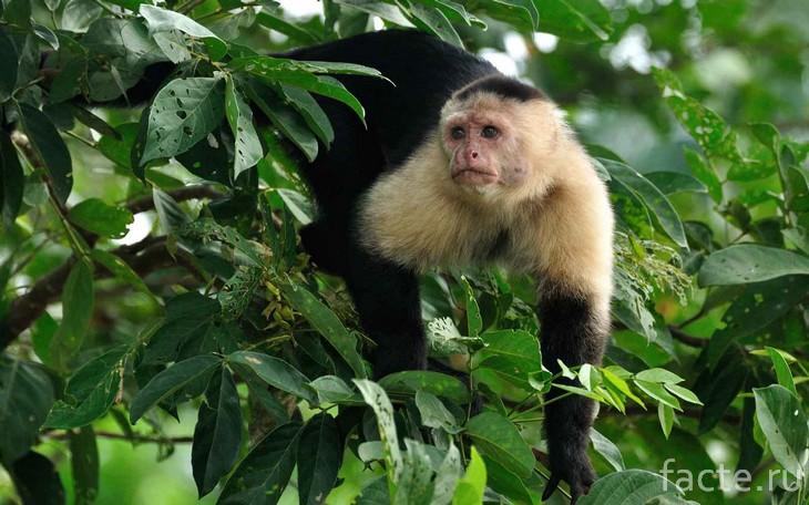 обезьяны-капуцины 1