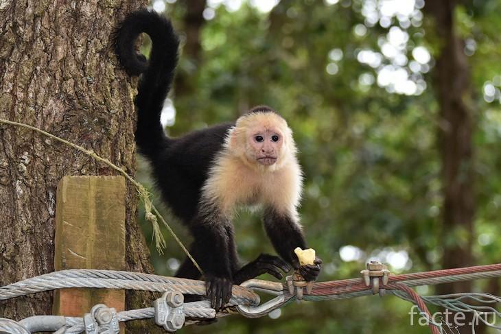 обезьяны-капуцины 2