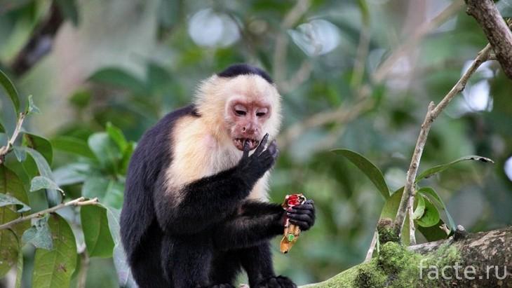 обезьяны-капуцины 3