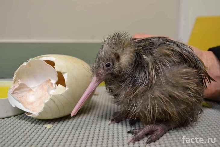 Птица киви и скорлупка от яйца