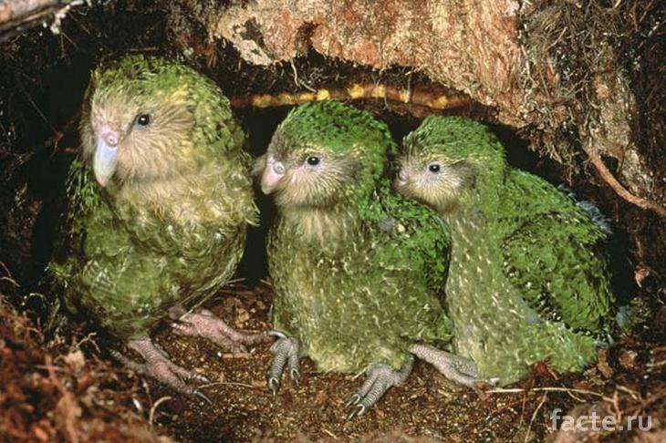 Три попугая какапо