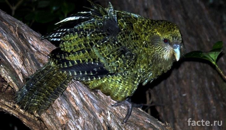 Попугай какапо с темными перьями