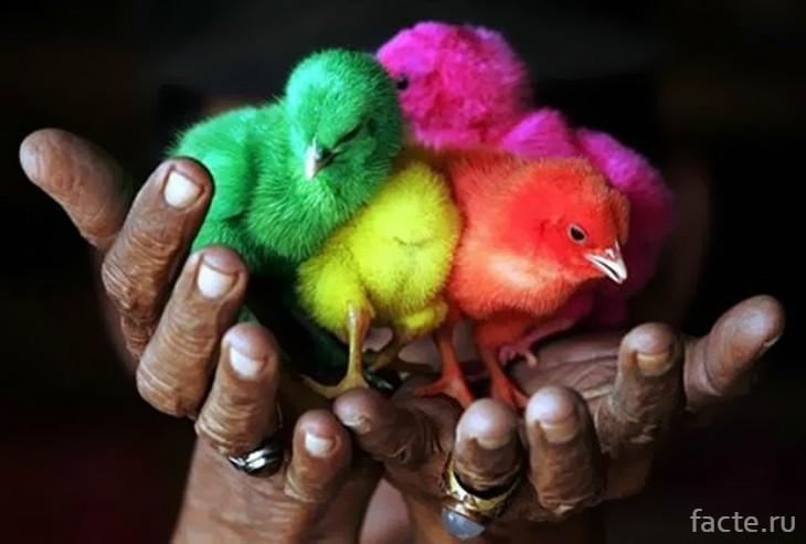 цыплята цветные