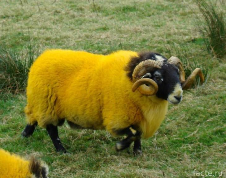 желтые овцы