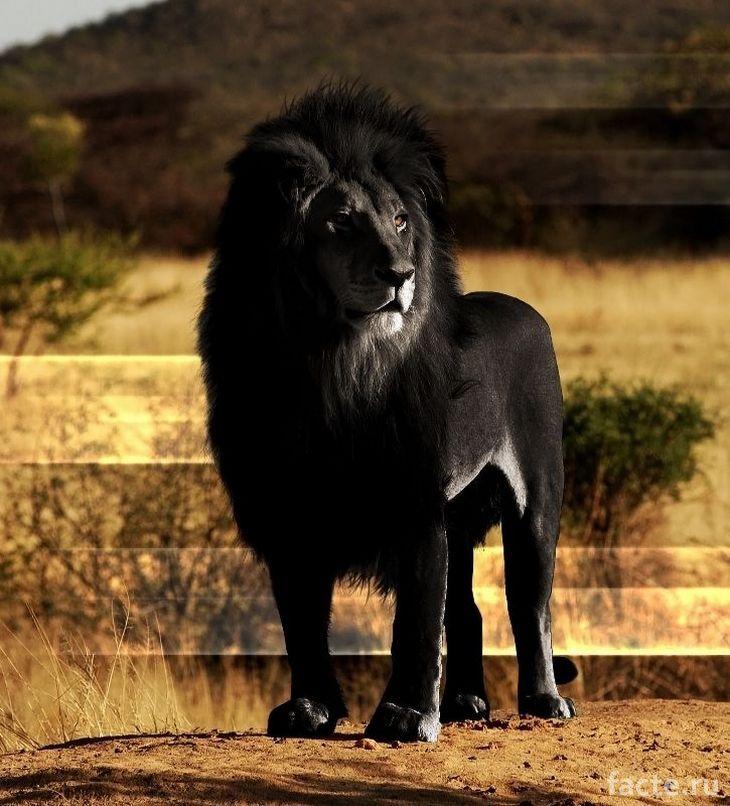 Очень доминантный лев!