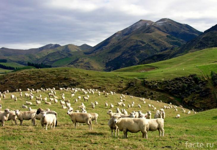 овцы стадо