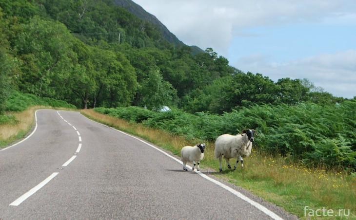 овцы в Шотландии