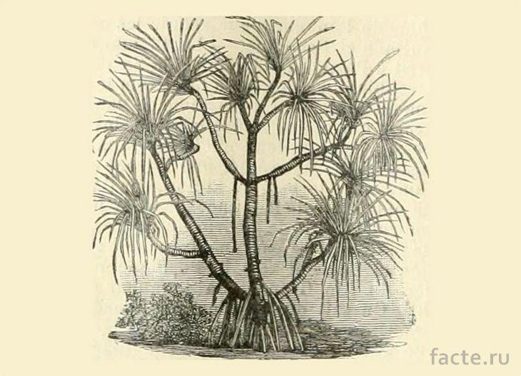 Pandanus candelabrum рисунок