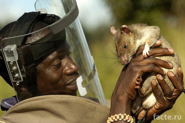 Крыса-герой