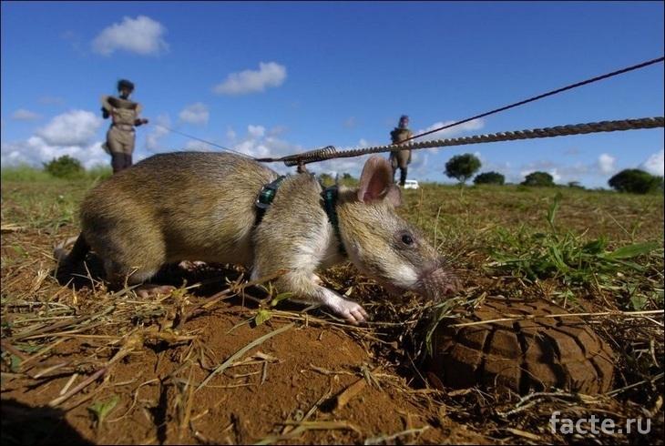 Крыса вынюхивает мины