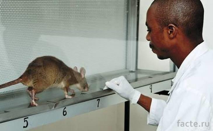 Крыса, диагностирующая туберкулез