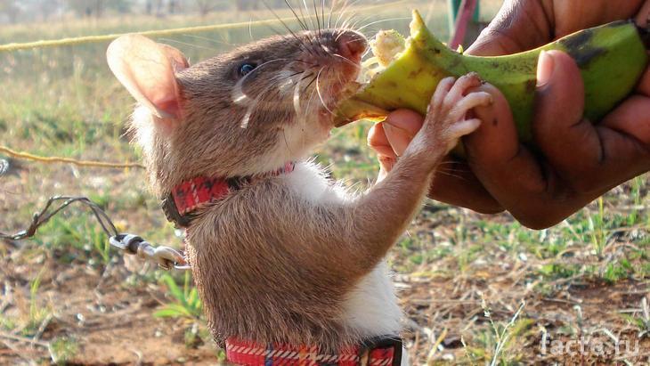Крыса получает угощение