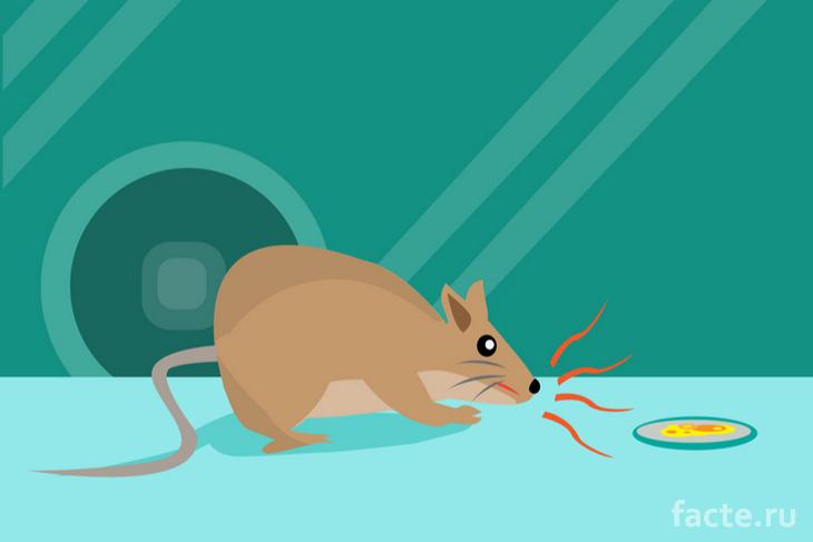 Крыса учится распознавать туберкулез