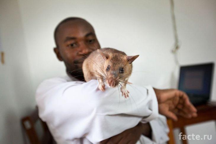 Крыса и благодарный пациент