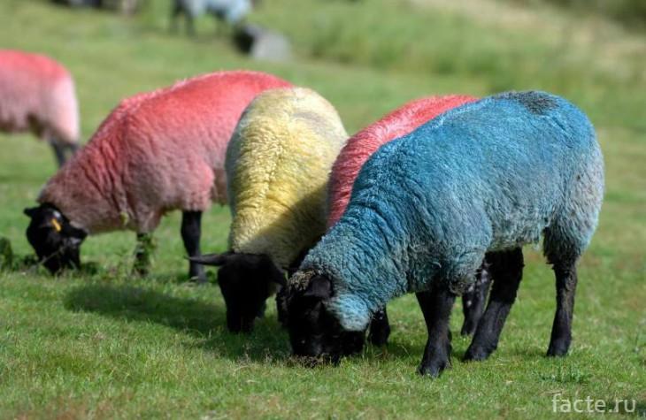 разноцветные овцы