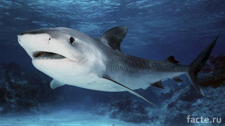 Внешне акулья кожа выглядит гладкой