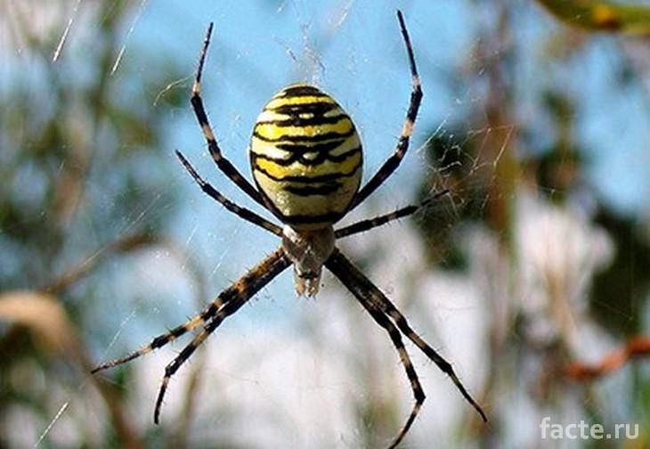 Желтый паук