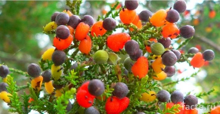 Дерево 40 фруктов. Плоды