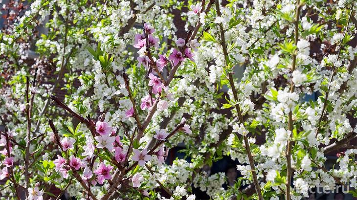 Дерево 40 фруктов. Цветы