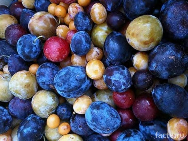 Плоды с дерева ван Акена