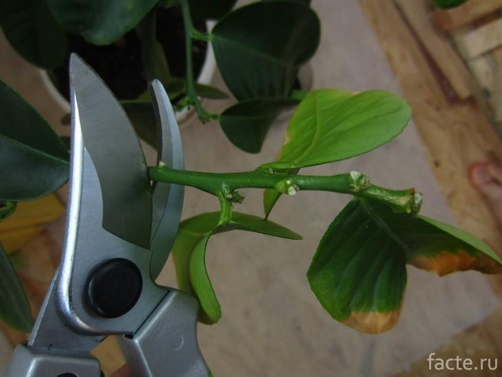 Обрезка лимонного дерева