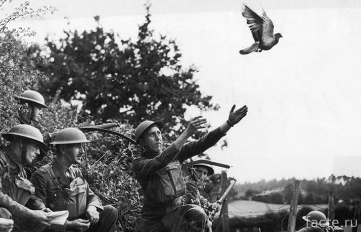 Голубиная почта в военное время