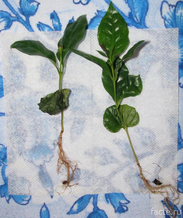 Размножение кофейного дерева