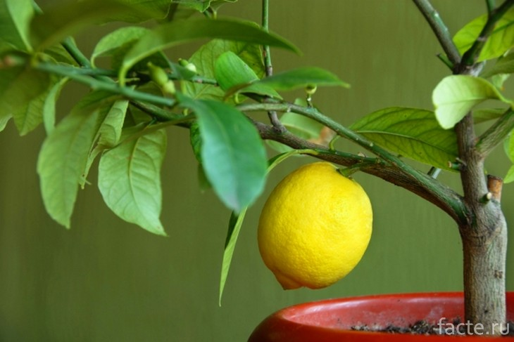 Сорт лимона