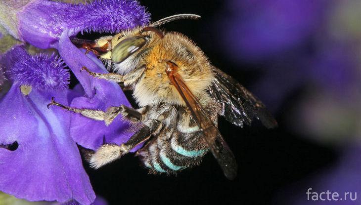 Австралийская пчела опыляет цветы