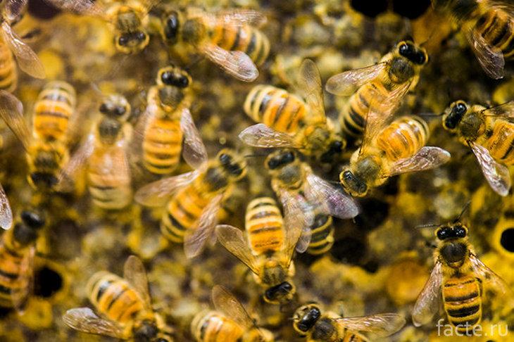 Австралийские пчелы