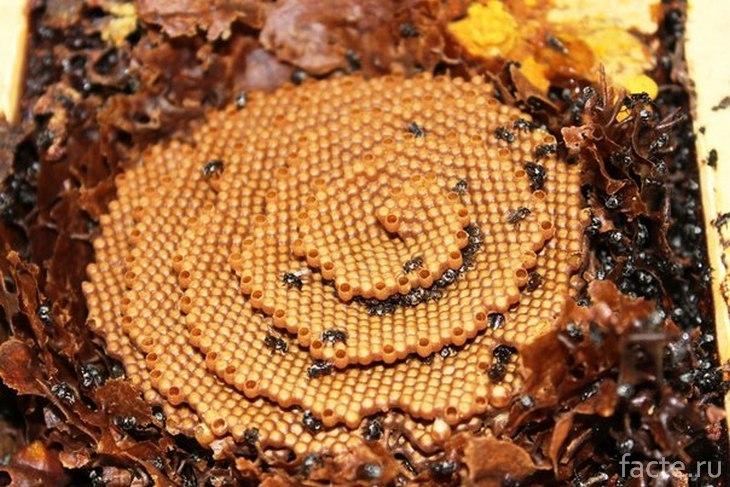 Улей австралийских пчел