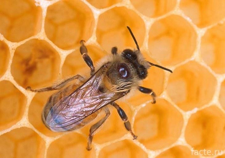 Австралийская пчела на сотах