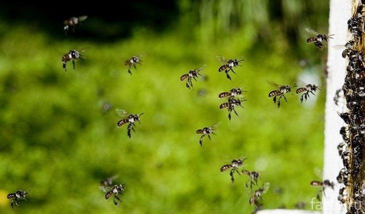 Летящие австралийские пчелы