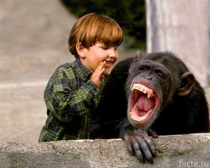Шимпанзе и подросший ребенок