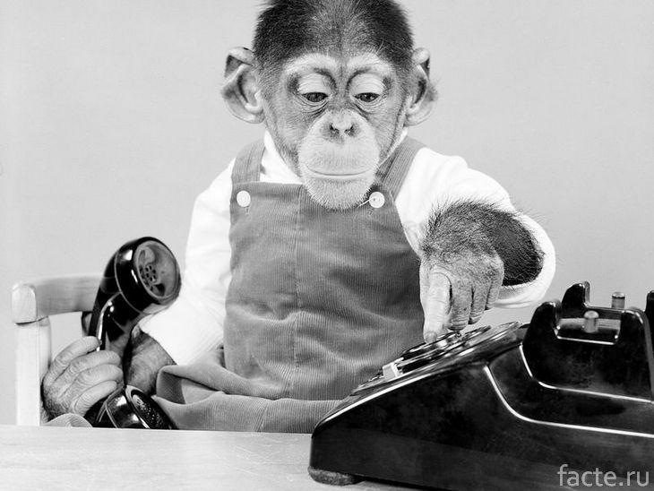 Шимпанзе и телефон