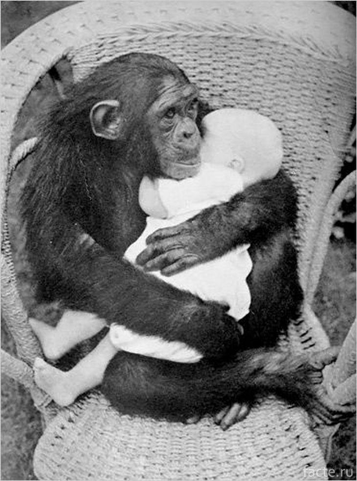 Шимпанзе обнимает малыша