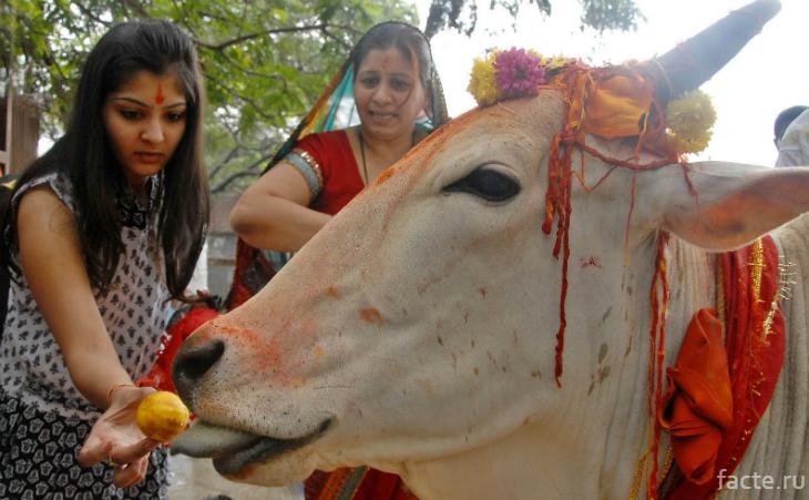 Индия и корова