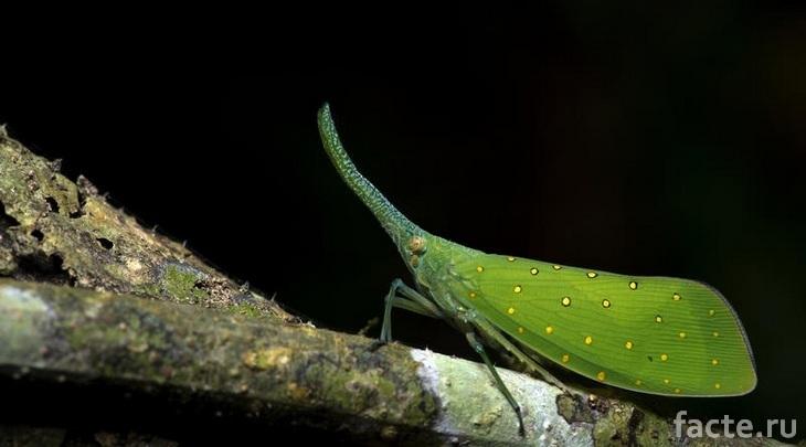 Зеленая листообразная дельфацида