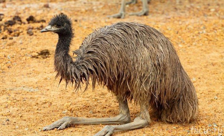 Сидящий страус эму