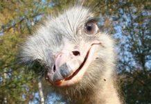 Любопытный страус эму
