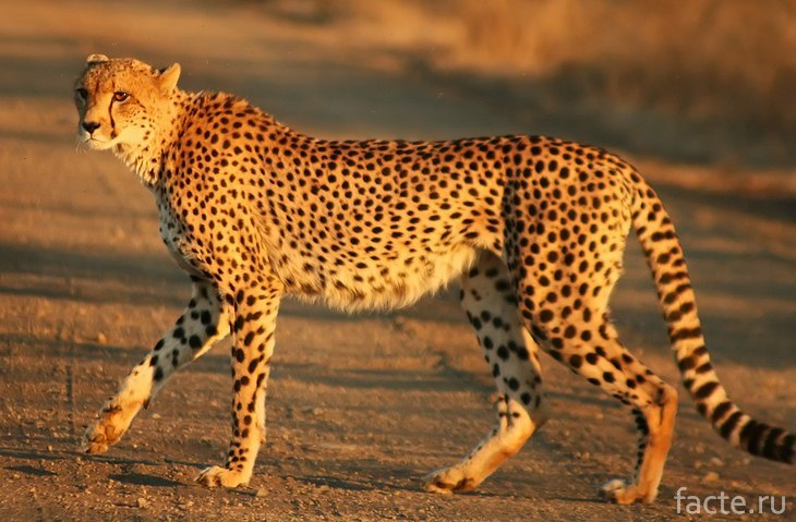 Гепард в дикой природе