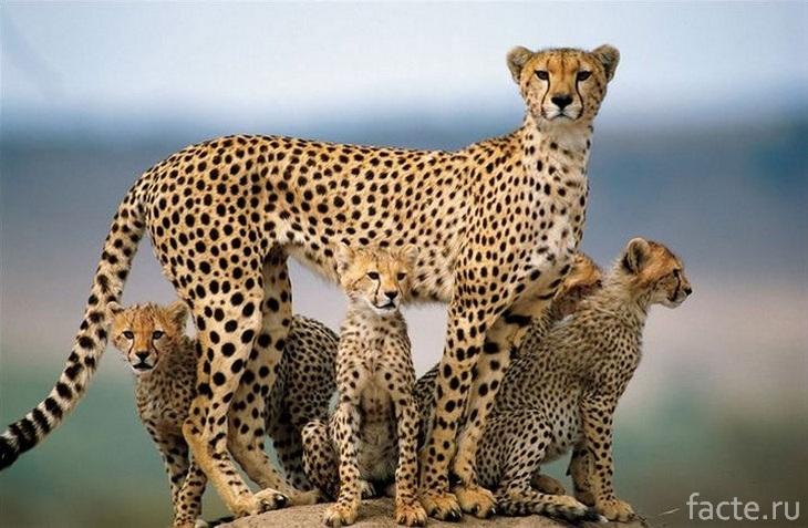 Гепард и его котята