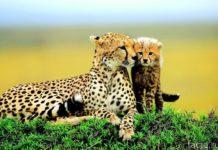 Гепард с детенышем