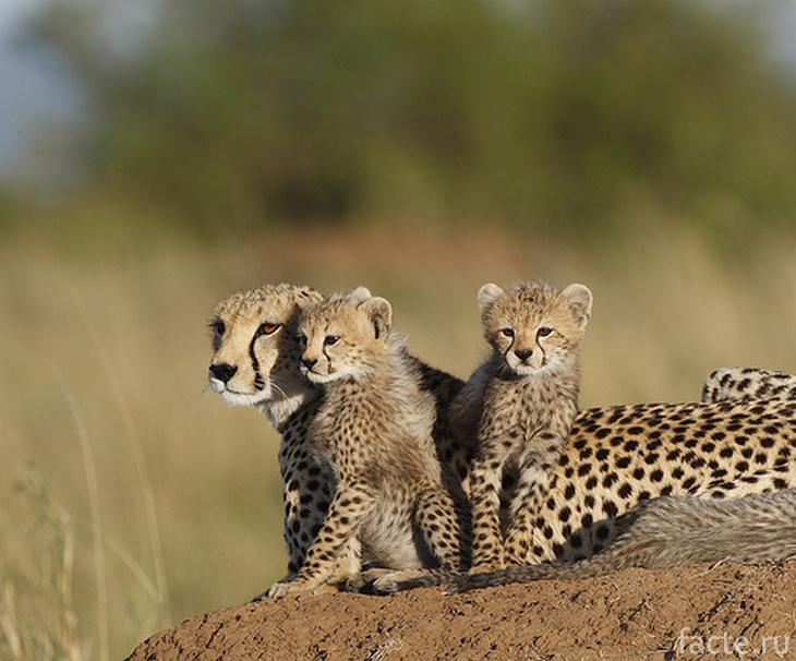 Гепард и два его котенка